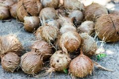 Stack of hairy brown coconuts Royalty Free Stock Photo
