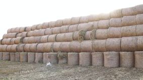 A stack of hay. Hay bales in a meadow. A stack of hay. Stacked Straw Hay Bails. Hay bales in a meadow. Rural field in autumn with bales of hay. Straw rolls on stock video