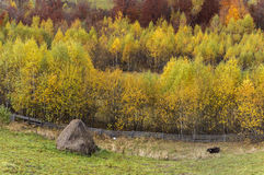 Stack of hay and cow in perfect autumn landscape in the countryside Stock Photography