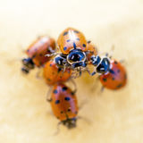 Stack of Ladybugs and 1 on top Royalty Free Stock Photos