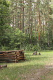 A stack of logs in a clearing in the pine forest.  royalty free stock image