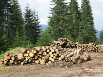 Stack of logs in forest. Ready for transport to mill Stock Photos