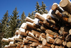 Stack of Logs in Winter Spruce Forest. A stack of pine and spruce logs under snow, with tall spruce trees and bright blue sky on the background. Photographed in Royalty Free Stock Image