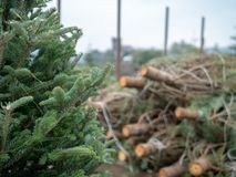 Stack of medium sized douglas fir Christmas trees cut down and sawed on a flatbed truck at market royalty free stock image