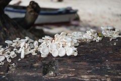 Stack mushroom rise up on moist trunk tree. have sand beach blur. Stack white mushroom rise up on moist trunk tree. have sand beach blurred are background. this stock photography