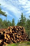 Stack Of Cut Pine Timber In Summer Forest