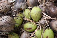 Stack of old brown coconuts. On dirt in Thailand Stock Image