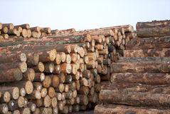 Stack of pine logs. With white tags Stock Image