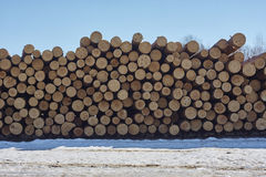 Stack of pine tree wood. Stock Photography