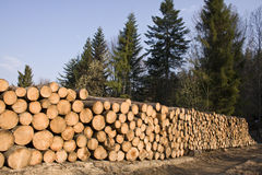 Stack of pine tree wood in forest Stock Photography
