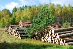 Stack of prepared wood in european forest Royalty Free Stock Photo