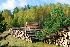 Stack of prepared wood in european forest Royalty Free Stock Images
