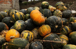 Stack of ripe pumpkins. In the farm Royalty Free Stock Photos
