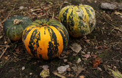 Stack of ripe pumpkins. In the farm Stock Photos