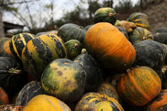 Stack of ripe pumpkins. In the farm Stock Image