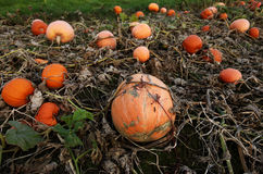 Stack of ripe pumpkins. In the farm Stock Photo