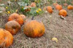 A stack of ripe pumpkins in the field. Ready to be picked Stock Image