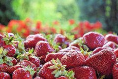 Stack of ripe strawberries. Pile of fresh strawberries ready for eating Stock Image