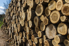 Stack of sawn tree trunks Stock Photography
