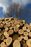 Stack of sawn tree trunks. Pile of logs sawn poplar with live trees Fund in winter royalty free stock images