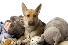 Stack of teddy and a german shepherd Royalty Free Stock Photography
