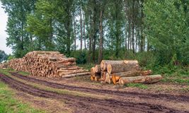 Stack of thick tree trunks at the edge of a the forest. Waiting for transport to the sawmill for further processing. In the foreground are tire tracks of stock photos