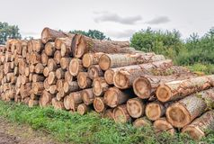 Stack of thick tree trunks in the forest. Waiting for transport to the sawmill for further processing. It is a cloudy day in the Dutch summer season stock image