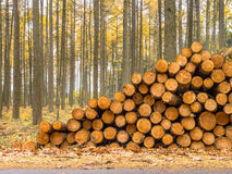 Stack of Timber in a Yellow Colored Larch Forest Royalty Free Stock Photography