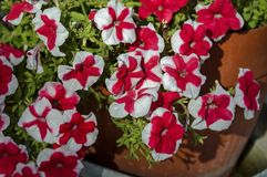Stack variegated red and white color petunia flower in  park, selective focus Royalty Free Stock Photography