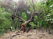 Stackars träd under den naturliga skogsavverkning och återbeskogningen av skogen Royaltyfria Foton