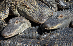 Stacked alligators Royalty Free Stock Images