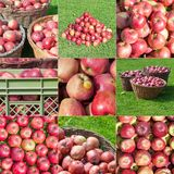 Stacked Apple Harvest Compilation Mosaic stock image
