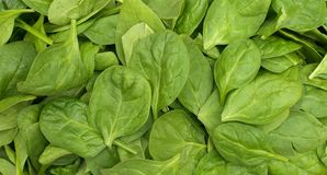 Stacked baby spinach Royalty Free Stock Photo