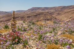 Stacked desert stones and spectacular wild flowers bloom in a desert landscape Ramon Crater, in the Negev desert , Israel stock image