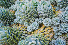 Stacked Kalanchoe tomentosa Stock Photo