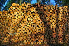 Stacked logs. From cut down trees in a forest royalty free stock photo