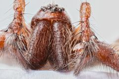 Extreme close up of the head of Domestic House Spider Tegenaria Stock Photo