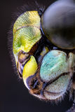Stacked Macro of the Head of a Hawker Dragonfly Royalty Free Stock Photo