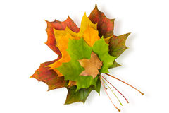 Stacked maple leaves Stock Image