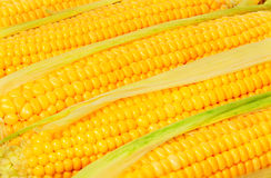 Stacked near peeled corn cobs Royalty Free Stock Image