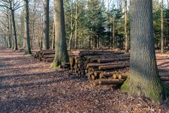 Piled tree trunks in a Dutch forest. Stacked tree trunks between tall trees in a Dutch forest in autumnal colors Royalty Free Stock Photos