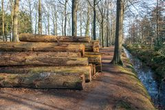 Stacked tree trunks waiting for transport to the sawmill. Stacked old and thick tree trunks waiting for transport to the sawmill. The tree trunks have been cut Stock Photo