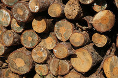 Stacked tree wood logs at a pine forest Royalty Free Stock Photos