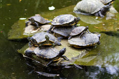 Stacked turtles Royalty Free Stock Photos
