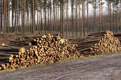 Stacked wood chopped trees trunks pile in forest woodland wilderness for biomass fuel CHP. Stacked wood chopped tree trunks pile in forest woodland wilderness Royalty Free Stock Images