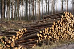 Stacked wood chopped trees trunks pile in forest woodland wilderness for biomass fuel CHP stock photo