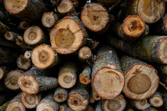 Stacked Wood Logs With Pine Trees Royalty Free Stock Photos