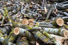 Stacked Wood Logs With Pine Trees Royalty Free Stock Images