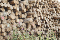 Stacked wood trunks Royalty Free Stock Image