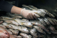 Stacking Fish. A man stacking fish at a fish market Stock Photo
